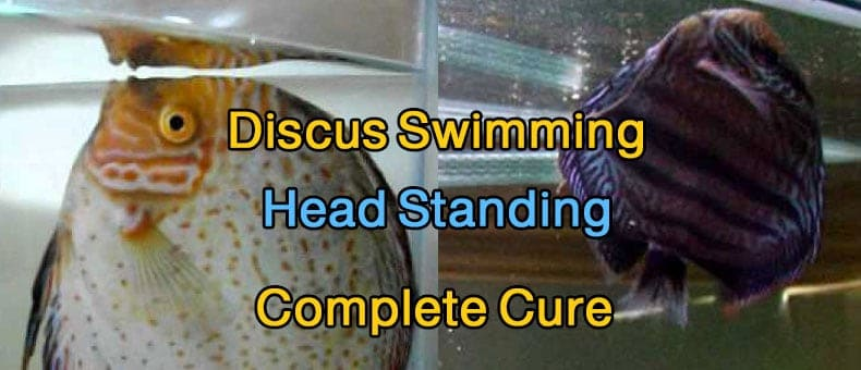 Discus Swimming Head Standing