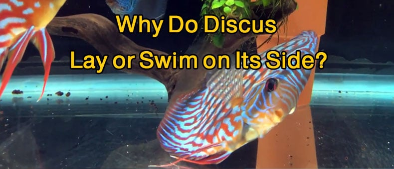 Why Do Discus Lay or Swim On Its Side? complete cure