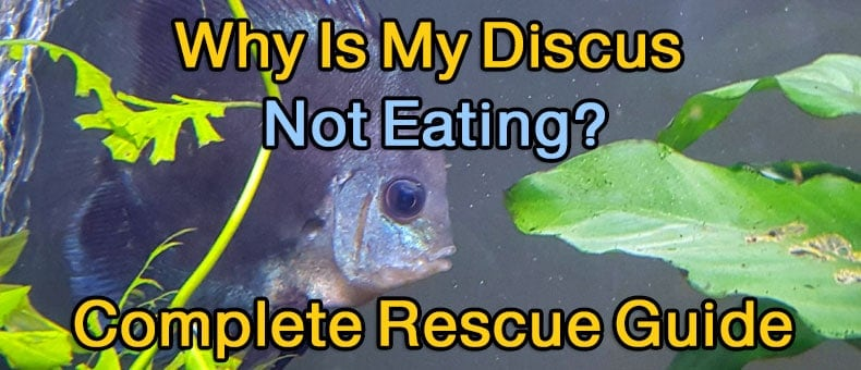 Why Is My Discus Fish Not Eating? - Complete Rescue Guide