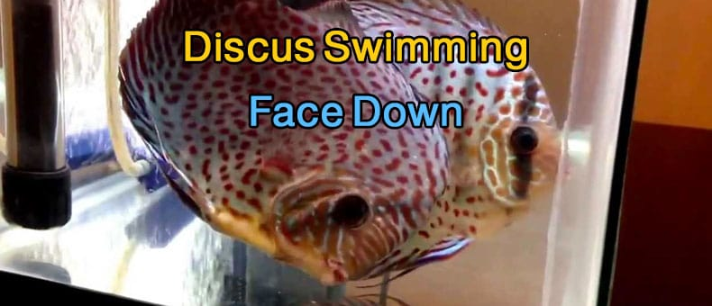 Why Is My Discus Swimming Face Down?