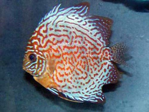 discus Fin and Tail Rot