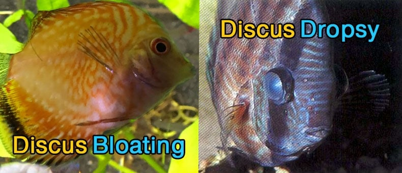 discus-bloating-discus-dropsy
