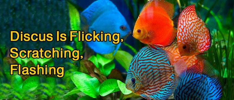 5 Reasons Discus Is Flicking, Scratching, Flashing, Rubbing Against Plants