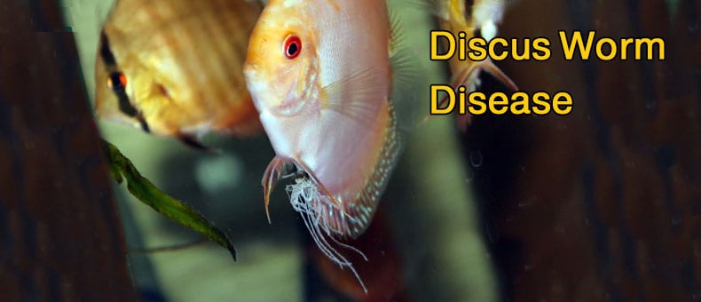 Discus-Worm-and-deworm