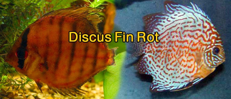 discus-fin-rot-cure