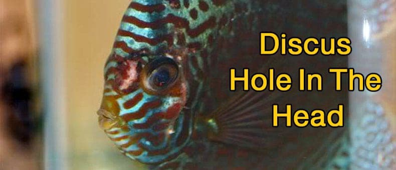 discus-hole-in-the-head-disease