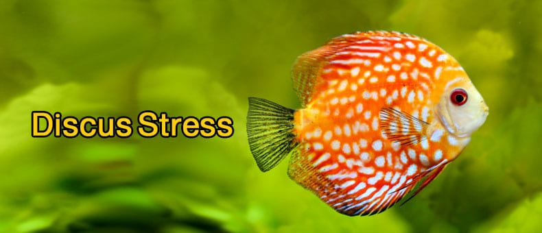 13 reasons why discus is stressed