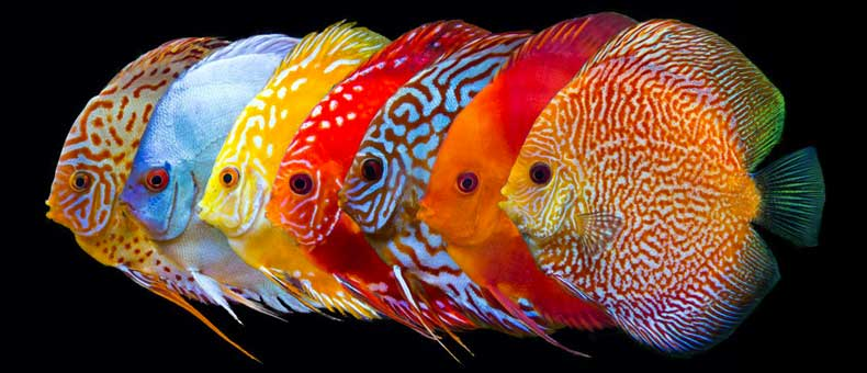 53-most-beautiful-discus-colors
