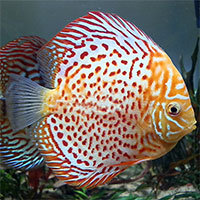 Albino Red Spotted Green price range
