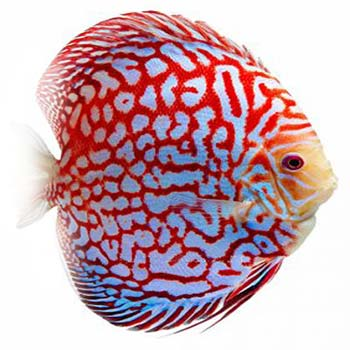 Checkerboard Red Map Discus