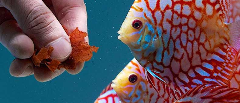 Discus Food 101 a guide for beginners
