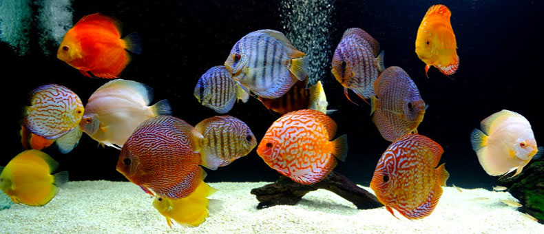 Discus-fish-101-guide-for-dummies