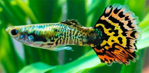 Guppies and discus fish