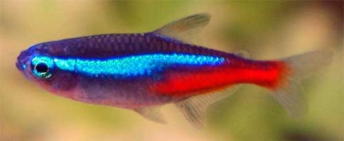 Neon Tetras and discus