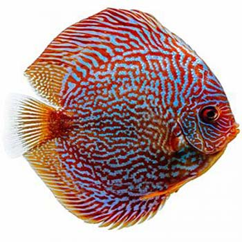 Red Snakeskin Discus