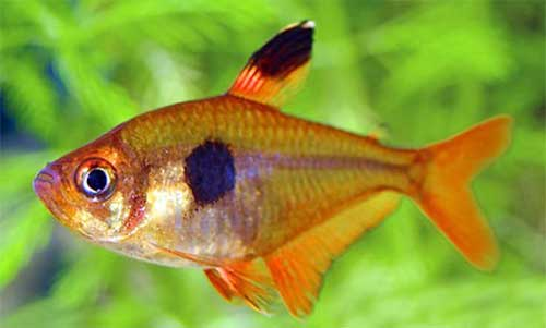 Tetras and Discus fish