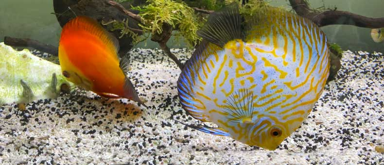 What Is The Best Food For Discus