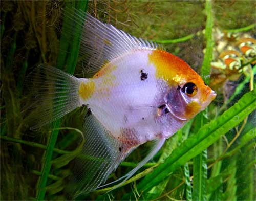 angelfish-and-discus