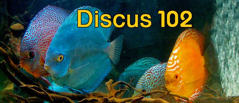 discus-102-common-questions-guide-for-beginners-2