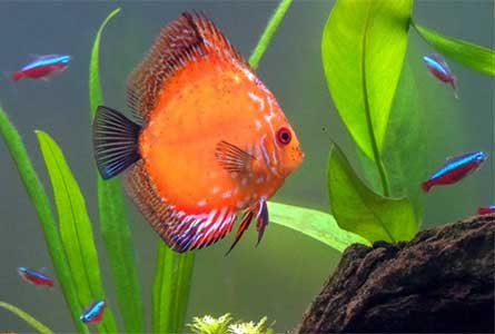 discus-fish-and-neon-tetras