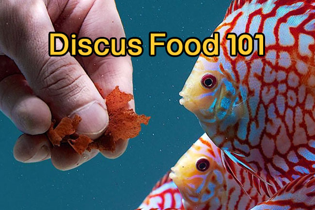 Discus Food 101 guide for begineers