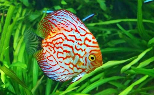 live-plants-for-your-discus-tank