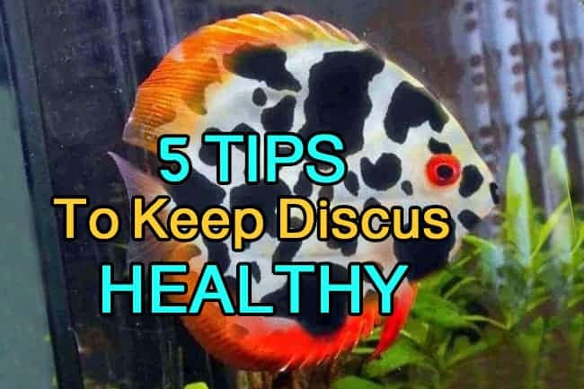 5 tips to keep a healthy discus