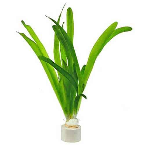 Vallisneria australis live plant