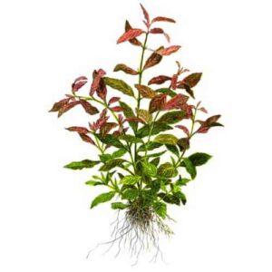 hygrophila-plant